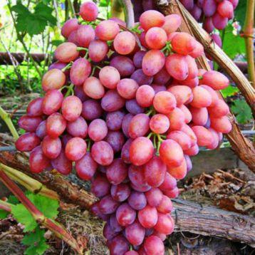 Лучистый кишмиш саженец винограда среднераннего роз. 0,5-1,0кг 4-6г л.мускат. до -19