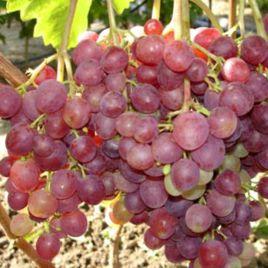 Ливия саженец винограда сверхраннего роз. 0,7-1,5кг 10-12г мускат. до -21