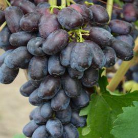 Лорано саженец винограда сверхраннего вегет. синий 0,6-1,5кг 10-12г гармон. до -24 НЕТ ТОВАРА