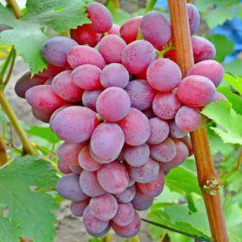 Подарок Ирине саженец винограда среднераннего вегет. розов. 0,8-1,5кг 18-20г гармон. до -23 НЕТ ТОВАРА