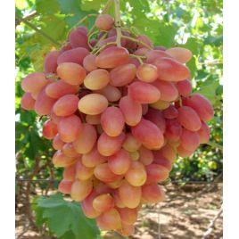 Преображение саженец винограда сверхраннего розов. 0,7-1,5кг 12-20г гармон. до -23