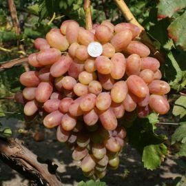 Преображение саженец винограда сверхраннего розов. 0,7-1,5кг 12-20г гармон. до -23 НЕТ ТОВАРА