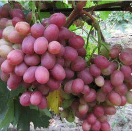 Рубиновый Юбилей саженец винограда среднераннего розов. 0,8-1,5кг 12-18г мускат. до -23 НЕТ ТОВАРА