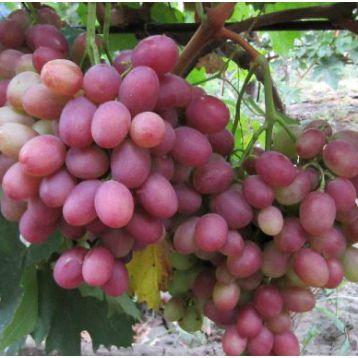 Рубиновый Юбилей саженец винограда среднераннего розов. 0,8-1,5кг 12-18г мускат. до -23