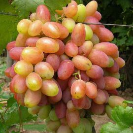 Юбилей Новочеркасска саженец винограда сверхраннего розов. 0,7-1,5кг 12-18г прост. до -22 НЕТ ТОВАРА