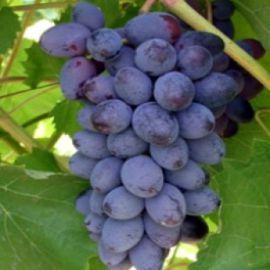 Юпитер кишмиш саженец винограда сверхраннего синего 0,5-0,7кг 4-7г гармон. до -27 НЕТ ТОВАРА
