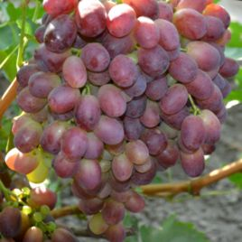 Марсело саженец винограда раннего вегет. борд. 0,7-1,5кг 15-20г гармон. до -23