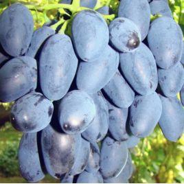 Рада саженец винограда раннего вегет. синего 0,6-1кг 8-12г гармон. до -21