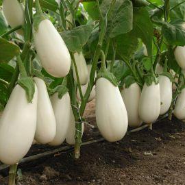 Бибо F1 семена баклажана (Seminis)