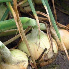 Балстар F1 (Balstar F1) семена лука озимого ультрараннего 150-250 грамм (Seminis)