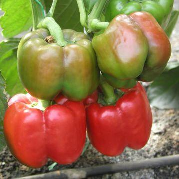Красный Рыцарь F1 (Red Knight F1) семена перца сладкого тип Блочный раннего 63-65 дн. корот.куб. 310гр. 11х10см 3-4 камер. 8-9мм