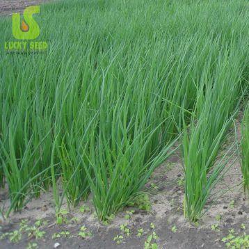 Пиканте семена лука батун (Lucky Seed)