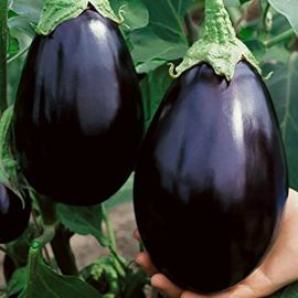 Гелиос семена баклажана (Професійне насіння)