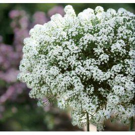 Снежинка семена алиссума (лобулярии, каменника) однол. (Pan American)