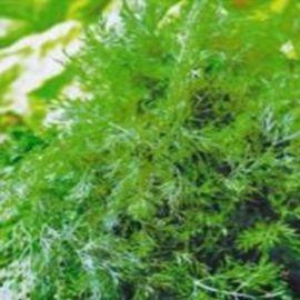 Тетра семена укропа (Satimex СДБ)