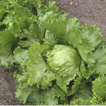 семена салата саладин
