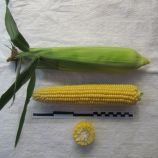 Свиткорн семена кукурузы сахарной (Lucky Seed)