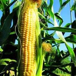 Свиткорн семена кукурузы сахарной Se 80 дн. (Semenaoptom)