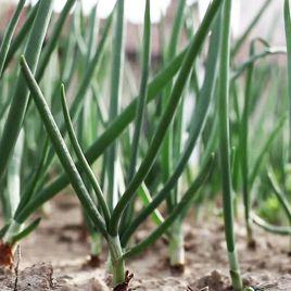 Блейд семена лука на перо (Semenaoptom)