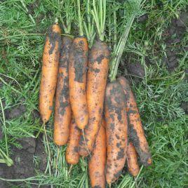 Берликум семена моркови поздней (Semenaoptom)