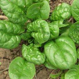 Матадор (Красавец полессья) семена шпината овал. (Servise plus (GSN) СДБ)