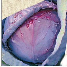 Милана семена капусты к/к поздней 1,5-2,3 кг (Satimex СДБ)