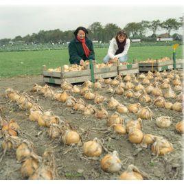 Эксибишн семена лука репчатого позднего прямого посева 900г 150дн (Bejo)