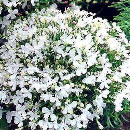 Ривьера белая семена лобелии (Pan American)