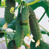 семена огурца везунчик f1