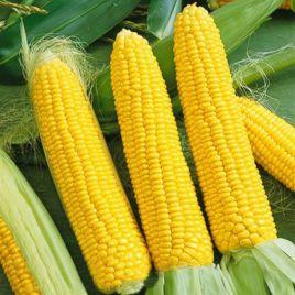 Лонга F1 семена кукурузы суперсладкой Sh2 ранней 70-75 дн. (Semo)
