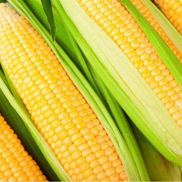 Ноа F1 семена кукурузы суперсладкой Sh2 ранней 72-73дн. 22см 16-18 ряд. (Pop Vriend)