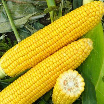 Харди F1 семена кукурузы суперсладкой Sh2 средней 78-79дн. 23см 16-18 ряд. (Hazera)