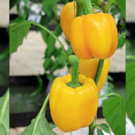 Калифорнийское чудо семена перца желт. (Професійне насіння)