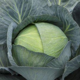 Саксесор F1 семена капусты б/к среднепоздней 3-5 кг (Syngenta)