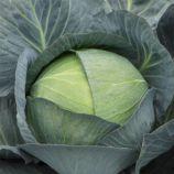 Саксесор F1 насіння капусти б/к середньопізньої (Syngenta)
