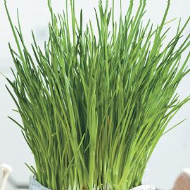 Ивола F1 семена лука шнитт (Wing Seed)