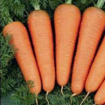 Каскад F1 (PR 2,4-2,6мм) семена моркови Шантане ранней 95-120 дн. (Bejo)