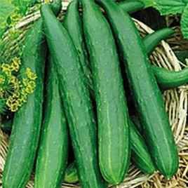 Китайское чудо семена огурца среднераннего партенокарп. 35-45 см (Професійне насіння)