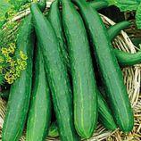 Китайське диво насіння огірка среднераннего партенокарп. 35-45 см (Професійне насіння)