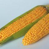 Тусон F1 семена кукурузы суперсладкой Sh2 средней 81дн. 22 см 20-22р. (Syngenta)