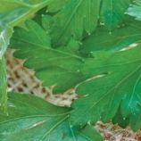 Гигантелла семена петрушки листовой (Професійне насіння)
