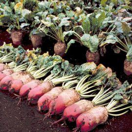 Эккендорфський красный семена кормовой свеклы (Servise plus (GSN) СДБ)