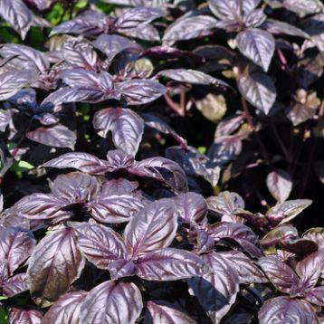 Гранат семена базилика фиолетового (Satimex СДБ)