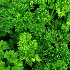 Кучерявая Москраузе семена петрушки листовой (Servise plus (GSN) СДБ)