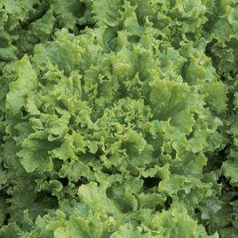 Ноблес семена салата тип Батавия (Vilmorin)