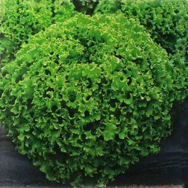 Драгон семена салата тип Батавия (Vilmorin)