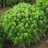 Компакт семена базилика (Semo)