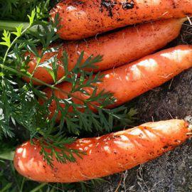 Кристина семена моркови кормовой (Польша)