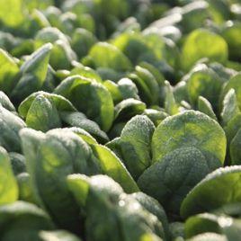 Тукан семена шпината (Rijk Zwaan)