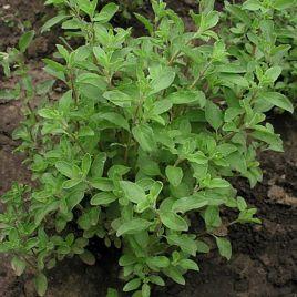 Майоран семена майорана (SEMO)